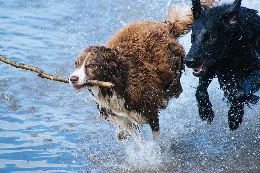 Hunde fröhlich im Wasser