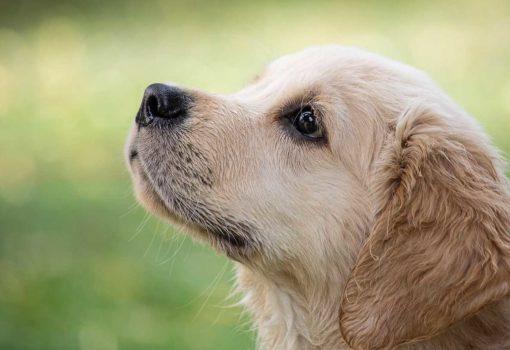 Hunde Zahnwechsel