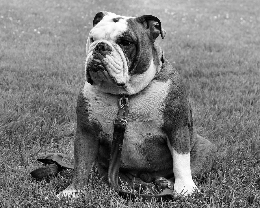 bulldog-848629_960_720