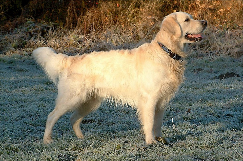 golden-retriever-532580_960_720