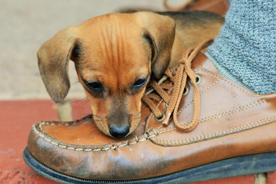 puppy-316076_960_720