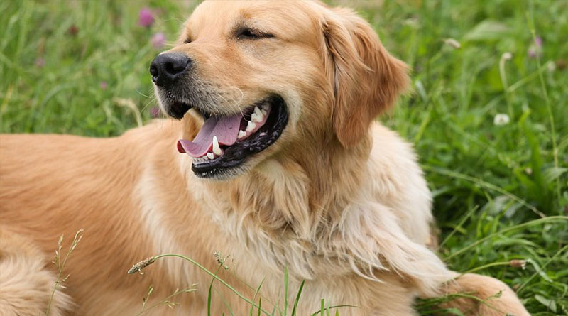 Golden Retriever Ohren