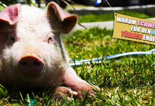 Wie gefaehrlich sind Schweineohren