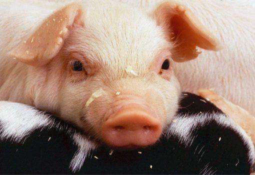 Schweine Ohren Snack Hund