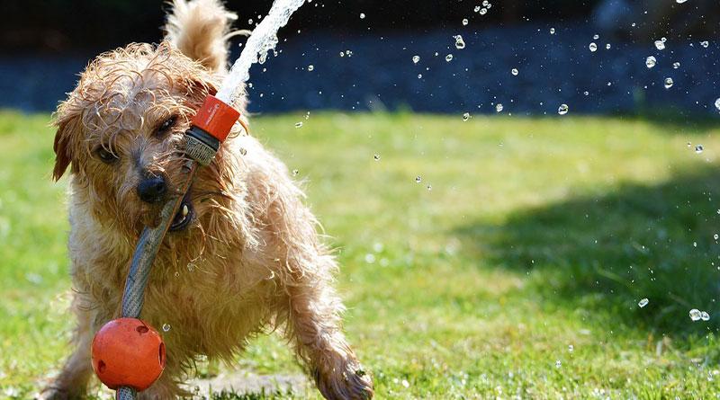 Hund-grallt-sich-Gartenschlauch