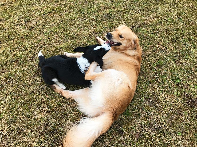 Border Collie und Golden Retriever Marley
