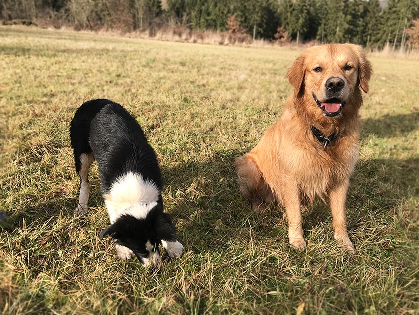 Border Collie Bobby mit Marley