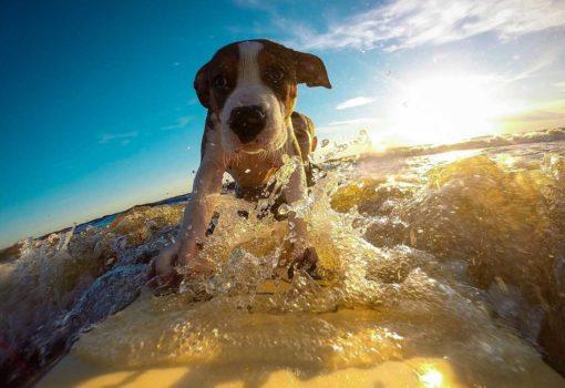 Hund im Meer surfen
