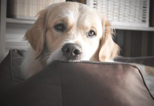 Beste Hundebett Golden Retriever
